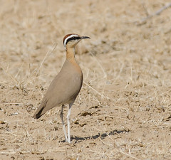 Indian Courser (Aravind Venkatraman) Tags: morning india bird birds nikon indian birding 300mm national dslr aravind birdwatching f4 birder bikaner nationalgeographic courser birdphotography cursorius 14tc nikondslr birdsindia indiabirds incredibleindia indianbirds birdphotographer dslrnikon nikon300mmf4 indiancourser avphotography cursoriuscoromandelicus nikon14tc d7000 coromandelicus nikond7000 d7000nikon aravindvenkatraman