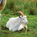 "Billygoat <a style=""margin-left:10px; font-size:0.8em;"" href=""http://www.flickr.com/photos/89335711@N00/8596186918/"" target=""_blank"">@flickr</a>"