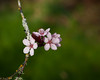 early blossoms (kiowas) Tags: pink flowers home blossoms plumtree floweringplum 2013 20130327img4196