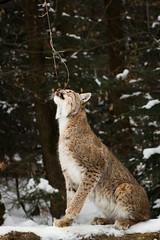 Got you (Cloudtail the Snow Leopard) Tags: wildpark pforzheim tier animal säugetier mammal luchs lynx nordluchs eurasischer cat katze winter schnee snow cloudtailthesnowleopard