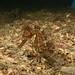 Middle of no-where - White's seahorse - Hippocampus whitei