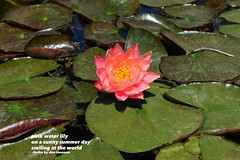 Pink Water Lily (Don Iannone) Tags: flower lilypond pinkwaterlily