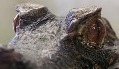 Cuvier's Dwarf Caiman (Brighthelmstone10) Tags: crocodilesoftheworld oxfordshire cuviersdwarfcaiman caiman crocodile teeth tooth smcpda1650mmf28edalifsdm
