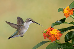 Ruby-throated Hummingbird w/ Lantana (2016-07-23 7454) (bechtelsf) Tags: nikon d810 nikon80400mm hummingbird rubythroated bird animal nature wildlife wing inflight flying flower summer ohio