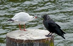 Mexican standoff (Lady Goldie) Tags: black headed gull jackdaw river thames outside outdoor birds aquaticbird aquatic corvid