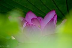 2016 Lotus #6 (Yorkey&Rin) Tags: 2016  em5 japan july lotus machida ngc npc olympus olympusm75300mmf4867ii rin t7191440 tokyo yakushiikekouen