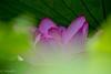 2016 Lotus #6 (Yorkey&Rin) Tags: 2016 7月 em5 japan july lotus machida ngc npc olympus olympusm75300mmf4867ii rin t7191440 tokyo yakushiikekouen 大賀ハス 町田市 東京都 薬師池公園 蓮