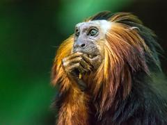 DSC_4264-1 (craigchaddock) Tags: cilantro zoe goldenheadedliontamarin leontopithecuschrysmelas parkeraviary sandiegozoo endangeredspecies leontopithecuschrysomelas goldenheadedtamarin tamarin newworldmonkey monkey pn iso6400 6400