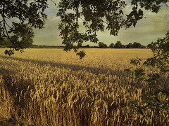 The harvest is ready..... (bonnie5378) Tags: wheatfield trees textured aug2016 cloth naturescarousel ngc coth5