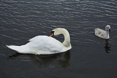 Rabbit Ings (229) (rs1979) Tags: rabbitings royston barnsley southyorkshire yorkshire pond muteswan muteswans swan swans cygnet cygnets