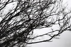 Tree branches in winter (Matthew Paul Argall) Tags: moody gloomy 35mmfilm spartus35fmodel400 tree trees branch treebranches winter blackandwhite ilforddelta100 100isofilm 100speedfilm