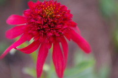 Echinacea (candiceshenefelt) Tags: echinacea flora flower red redflower