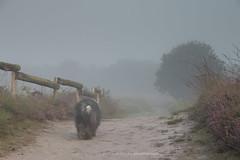 the road home (dewollewei) Tags: oldenglishsheepdogs oldenglishsheepdog oldenglishsheepsdog oes bobtail dewollewei sophieandsarah sophieensarah road walk fog mist