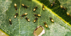 Ants Feasting on Leaf (briejeshpatel) Tags: brijeshpatel brijesh canon7d canonllens canondslr canon100mmf28lmacro bangalore lalbaghflowershow 2016 macrocanon100mmf28 macrophotography macrography patel briejeshpatel karnataka flowershowaugust152016 macro flowers canon 7dcanon l lens dslrcanon 100mm f28l lalbagh flower show2016 f28 anther