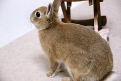 Ichigo san 304  (mensore) Tags: brown bunny cute ichigo netherlanddwarf pet rabbit