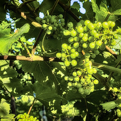 Ripening (enneafive) Tags: grapes ripening vine leafs green flora agriculture rural fruit light