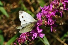 Butterfly (Hugo von Schreck) Tags: schmetterling butterfly weisling macro makro insect insekt outdoor hugovonschreck canoneos5dsr tamronsp90mmf28divcusdmacro11f017 onlythebestofnature groserkohlweisling pierisbrassicae