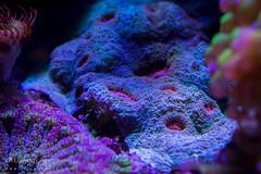 Captive Chalice Coral (J.P. Lawrence Photography) Tags: anthozoa scleractinia cnidaria echinophyllia invertebrates lobophylliidae chalicecoral invertebrate