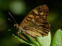 Speckled wood (Geminiature Nature+Landscape Photography Mallorca) Tags: butterfly butterflies mariposas vlinders macro raynox dcr 250 insekten insects insectos bontzandoogje satyrinae parargeaegeria dagvlinder mariposadelosmuros