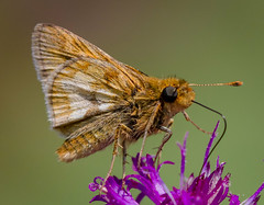 Pecks Skipper (tresed47) Tags: 2016 201607jul 20160729springtonmacro butterflies canon7d chestercounty content folder insects pennsylvania peterscamera petersphotos places springtonmanor takenby us ngc npc