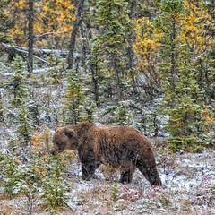 Fellow Traveler (Philip Kuntz) Tags: brownbear grizzly bear bruin ursusarctoshorribilis yukon snowinaugust alongthealcanhighway