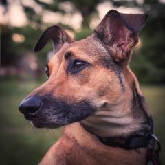 The Wooja Lisa (Darren LoPrinzi) Tags: 5d canon5d canon dog portrait animal dogs animals pet pets cut eyes mutt mix germanshephard rhodesianridgeback terrier ridgeback manchesterterrier square squareformat f64 f64g78r1win