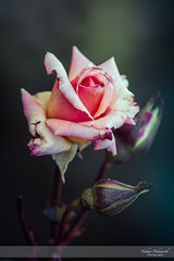 Simply Roses II (Nathan Dodsworth Photography) Tags: roses colours light petals flowers mood processing beauty calming serene romantic valentine romance love reds pinks