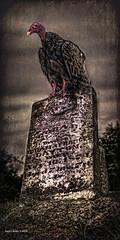 A Little to Late for Dinner ....HSS! (jackalope22) Tags: hss buzzard grave turkey sliders art