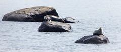 Just Lounging (maureen.elliott) Tags: seals stlawrenceriver bicnationalpark nature wildlife outdoors parcnationaldubic faune parcsqubec