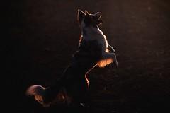 Sunset dancer (Martyna Og) Tags: dog doginsunset sunset animal pet dancer sundancer bordercolliefloey bordercollie