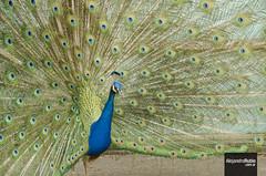 Pavo real (.Alejandro Rubio.) Tags: ecoparque zoologico pavo real bird pajaro ave pluma peacock feather green blue buenosaires argentina alerubio