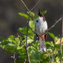 Red-whiskered Bulbul (Pycnonotus jocosus) (stuartreeds) Tags: redwhiskeredbulbul india bulbul bird