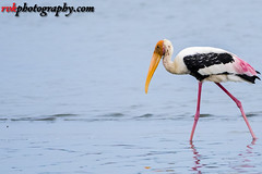 Pulicat Bird Sanctuary, India (rvk82) Tags: 2016 august2016 birdsanctuary birds india nature nikkor200500mm nikon nikond500 paintedstork photography pulicat pulicatbirdsanctuary pulicatlake rvk rvkphotography raghukumarphotography southindia tamilnadu wildlife rvkphotographycom karimanal andhrapradesh in
