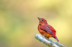 Summer Tanager (m) (Thy Photography) Tags: summertanager westerntanager animal bird avian rare rarebird fullframe backyard nature outdoor photography tanager sanfrancisco fortmason prettycolors depthoffield