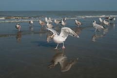 that's mine - hebbes (de_frakke) Tags: noordzee merdunord kust coast meeuwen seagull oostduinkerke belgium flanders
