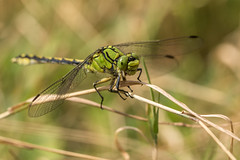Ophiogomphus cecilia (regisfiacre) Tags: ophiogomphus cecilia ophiogomphe serpentin libellule dragonfly libelle libellula odonate odonata insecte bugs macro nature canon 100mm meadow prairie vert green
