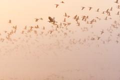 Gentle light. (K16mix) Tags: japana izunuma miyagi kurihara wildlife wildbird wildgoose fly morning mist lake water eaafp ramsarconvention swan          nature