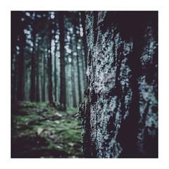 kingworm3 (seba0815) Tags: ricohgrdiv grdiv forest woods wood tree nature outdoor green light dark darkphotography vsco lr preset square color seba0815 bokeh black mood atmosphere melancholy beautiful kingworm framed