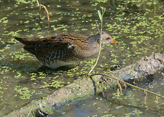 Spotted Crake (Severnrover) Tags: slimbridge spotted crake migration migrant