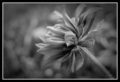 IMGP0895_DxO (paulsretrography1963) Tags: rudbeckia flower blackwhite
