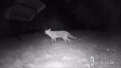 Foxy Visitor - Explored (SKAC32) Tags: fox garden trailcamera infrared nightvision