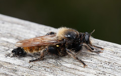 Bee-mimic robber fly (Laphria flava) (Steve Balcombe) Tags: insect robber fly asilidae laphria flava male scotland uk