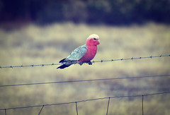 Pink & Grey Galah, sitting on barbed wire. (Marc Russo (Australia)) Tags: pink bird grey wire farm cocky marc outback aussie barb russo galah pinkgrey eolophusroseicapilla marcrusso