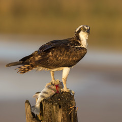 Osprey with breakfast (daveinhst) Tags: fish bird breakfast sunrise texas perch osprey quintana 068 avianexcellence 011613
