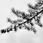 Chinese Pine Silhouette thumbnail