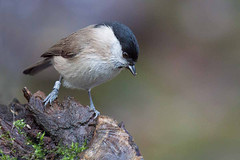 Marsh Tit. (arthurpolly) Tags: uk nature birds canon eos wildlife elements topshot naturesfinest marshtit blueribbonwinner 100400is 50d supershot 5photosaday beautifulphoto passionphotography rhydymwyn abigfave platinumphoto anawesomeshot avianexcellence diamondclassphotographer flickrdiamond theunforgettablepictures brillianteyejewel unforgettablepictures betterthangood natureselegantshots rubyphotographer flickrlovers 5halloffame goldenheartaward 100commentgroup dragondaggerphoto dragondaggeraward flickrclassique thebestofmimamorsgroups dragonsdanger atomicaward birdperfect flickrportal
