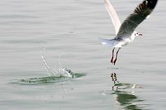 Take Off @ Chilika Lake (Monsoon Lover) Tags: india nature flickr orissa pastandpresent chilika chilikalake chilka sudipguharay brakishwaterlake princesssaidthisispastandpresentinoneframe