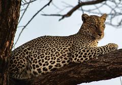 Leopard in Samburu, Kenya (Sallyrango) Tags: africa nature kenya wildlife safari leopard bigcat samburu africanleopard africanwildlife wildleopard samburugamepark