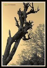 Burnt (soumen19xx) Tags: wood trees sky india blur tree art nature leaves sepia digital canon geotagged photography eos stem flora focus asia branch dof natural photos outdoor sigma burn bark trunk t3 tone 70300 cs3 defocus stillphotography creativeart 1100d