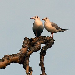 J77A2524 -- Two Black-headed Gulls in the top of a tree (Nils Axel Braathen -- Thanks a lot for +200K views) Tags: france nature birds canon wildlife fugler oiseaux blackheadedgull levsinet hettemke vogeln thebestofday gnneniyisi mygearandme mygearandmepremium mygearandmebronze mygearandmesilver mygearandmegold mygearandmeplatinum photographyforrecreationeliteclub rememberthatmomentlevel4 rememberthatmomentlevel1 magicmomentsinyourlifelevel1magicmomentsinyourlifelevel2magicmomentsinyourlifelevel3 magicmomentsinyourlifelevel2 magicmomentsinyourlifelevel1 rememberthatmomentlevel2 rememberthatmomentlevel3 magicmomentsinyourlifelevel3 magicmomentsinyourlifelevel4 rememberthatmomentlevel5 rememberthatmomentlevel6 creativephotocafe vigilantphotographersunite vpu2 vpu3 vpu4 vpu5 vpu6 vpu7 vpu8 vpu9 vpu10 photographyforrecreationclassic